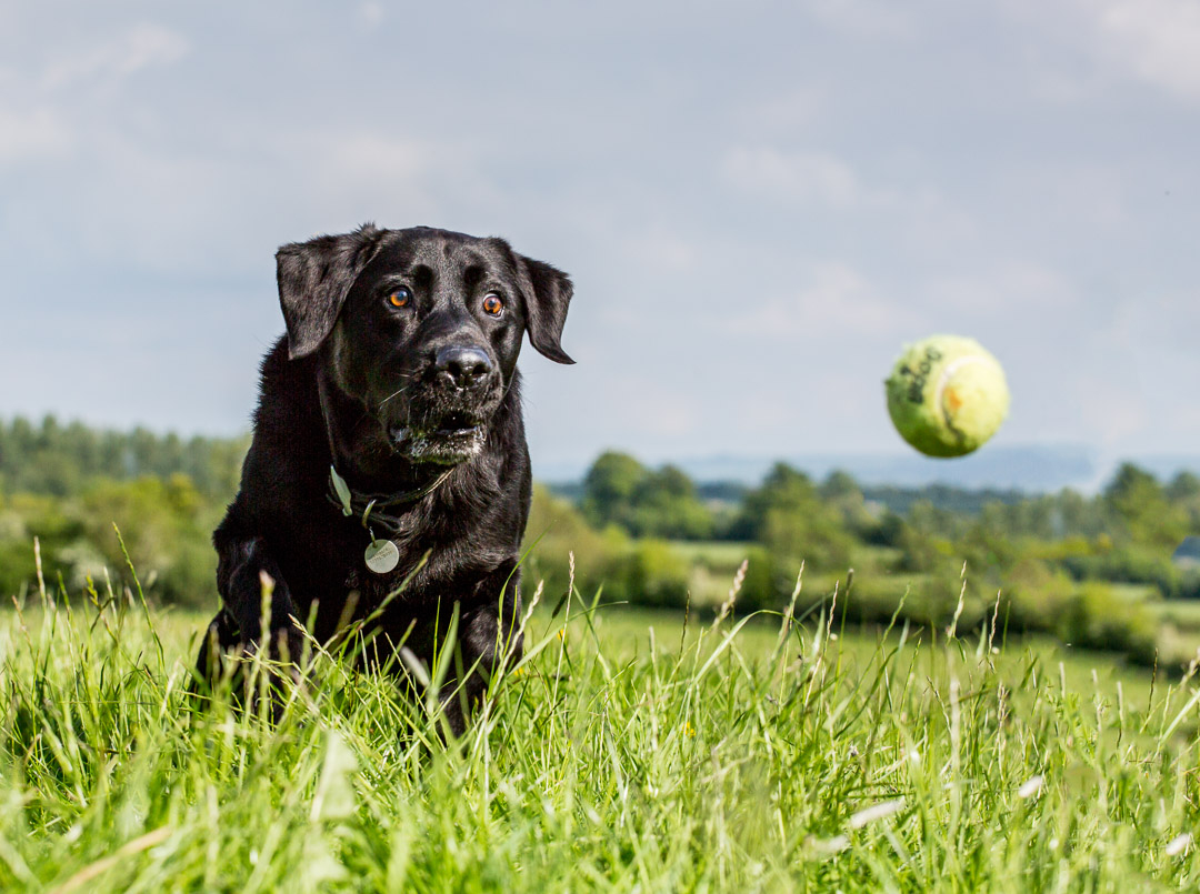 Black lab chasing ball