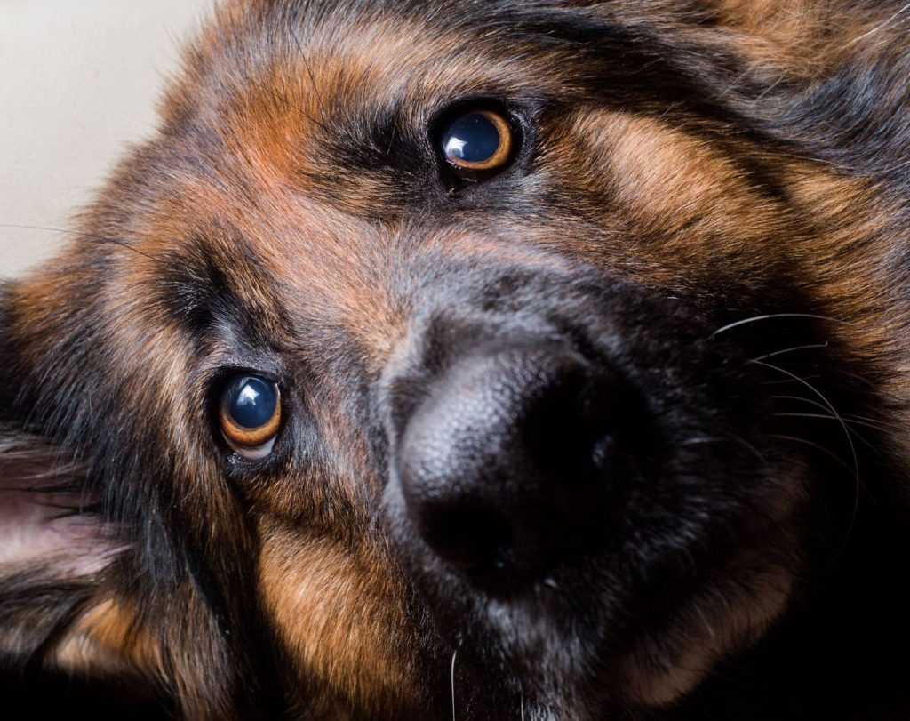 German Shepherd Eyes