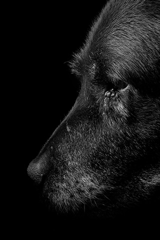 Black and white photo of a black labrador