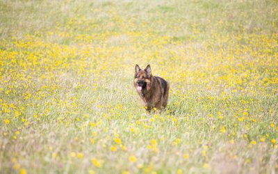Dandelions: why they're good for you your dog why they represent Stephanie Paterson Photography
